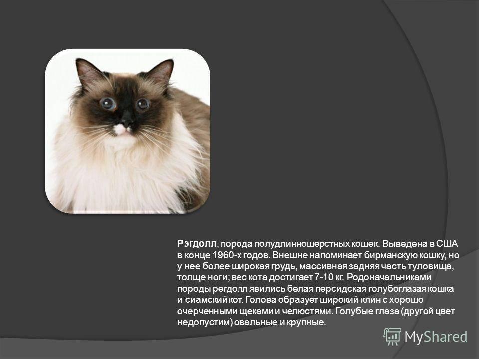 Бирманская кошка - происхождение, особенности поведения и содержание | породы кошек