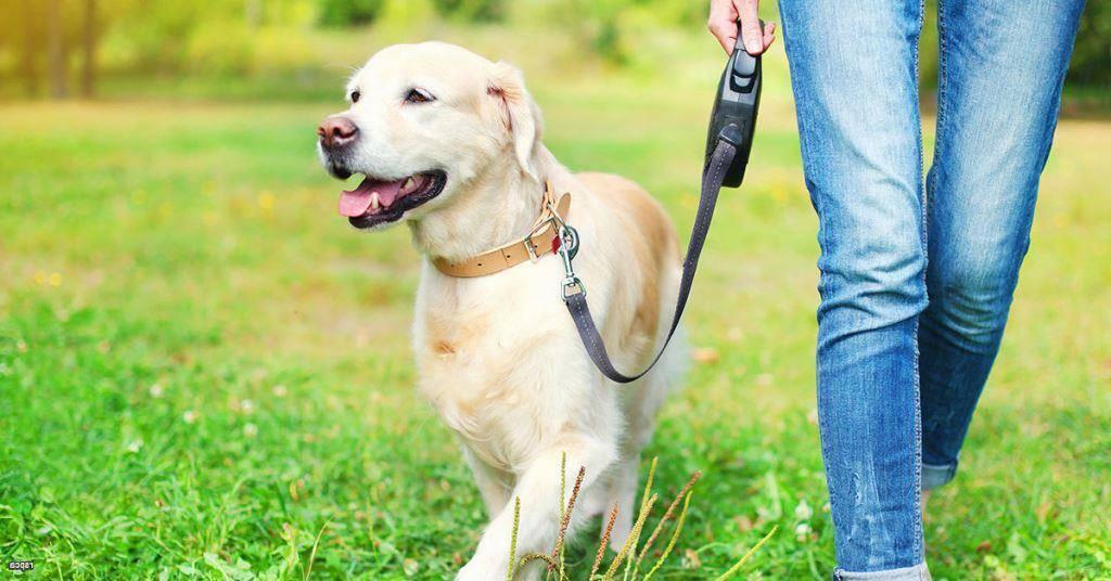 Как приучить щенка к поводку и ошейнику. полезные советы