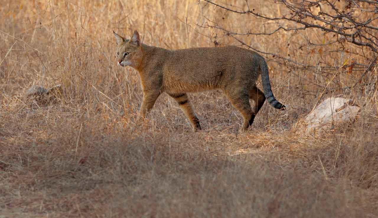 Камышовый кот или болотная рысь: как выглядит и разведение в домашних условиях