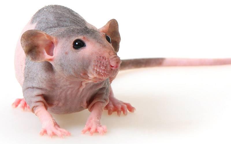Виды и породы домашних декоративных крыс с фото и описаниями