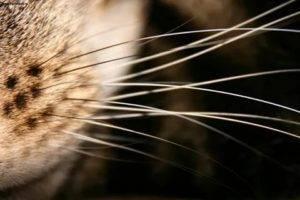 Можно ли коту подстричь усы