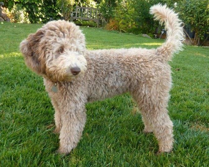 Лабрадудль — описание породы собак