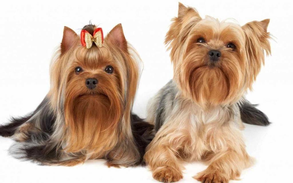 Какую собаку выбрать йорк или шпиц