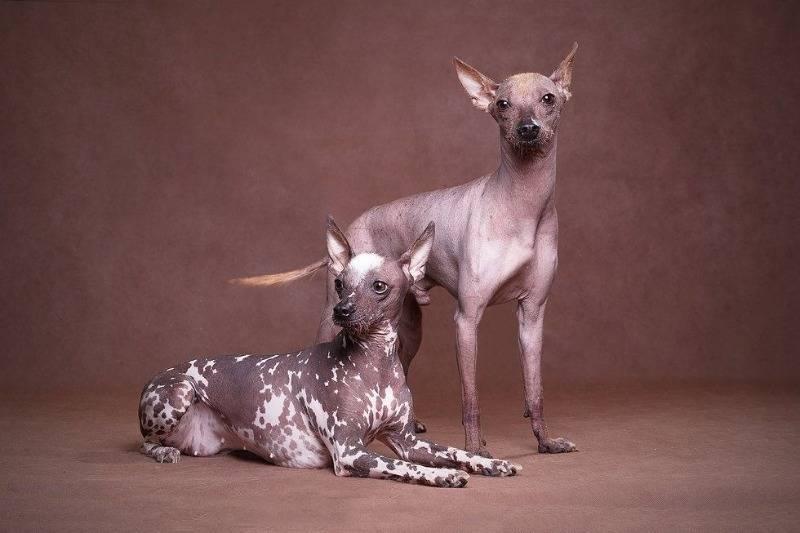 Мексиканський голий собака, ксолоитцкуинтли. описание, фотографии, видео, черты и характер породы, отзывы