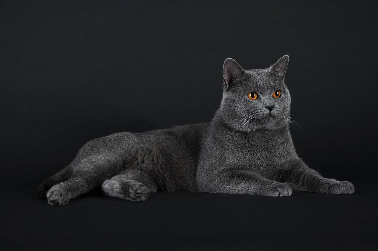 Кошка шартрез: описание породы, фото, видео, отзывы владельцев