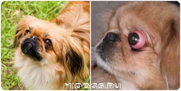Глаза и зрение собаки: особенности и строение