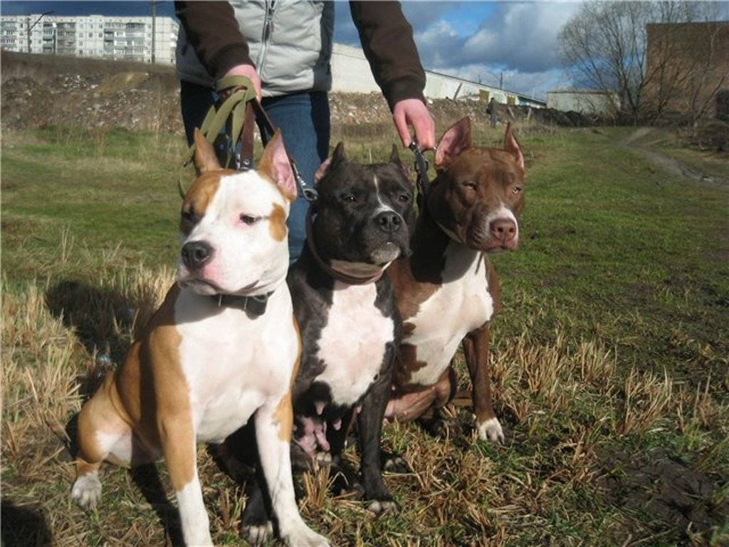 Основные отличия собак пород стаффордширский терьер и питбуль с фото питомцев