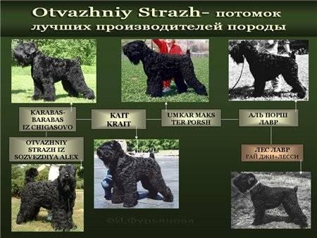 Собака черный терьер — ум, решительность и обаяние