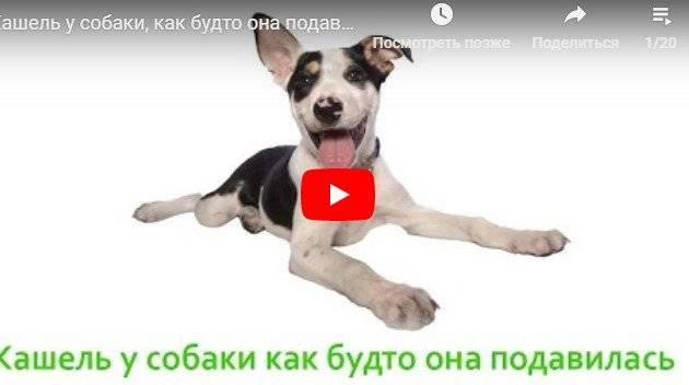 Собака кашляет, как будто подавилась: что делать