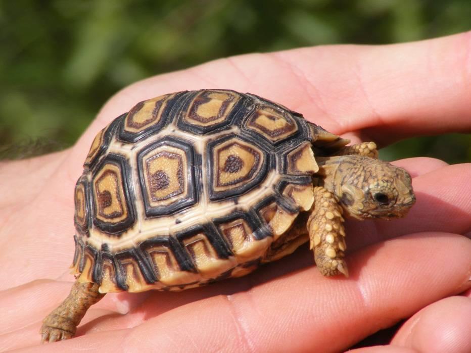 Продолжительность жизни у черепах
