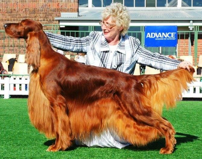 Ирландский (красный) сеттер: фото собаки, характер, содержание и уход