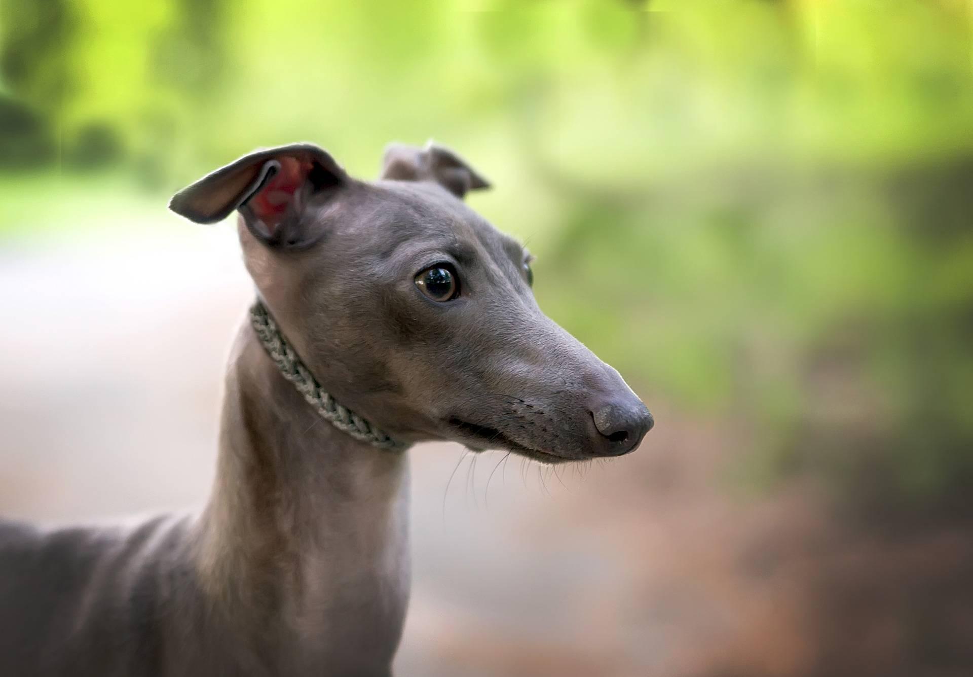 Левретка: описание итальянской породы собак, воспитание, уход и содержание