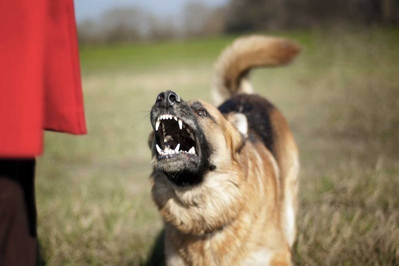 10 пород собак, опасных для своих хозяев