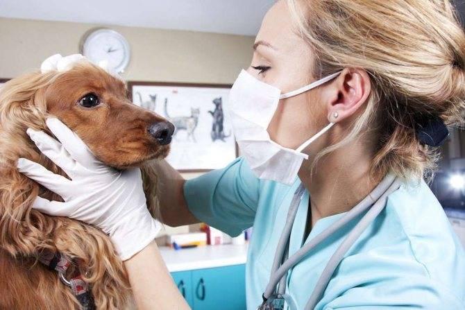Собака чихает - причины, симптомы заболеваний и помощь