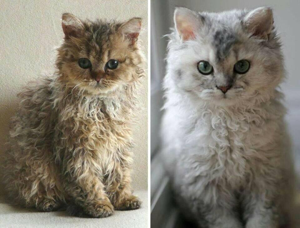 Коротколапые кошки — разновидности пород и особенности ухода
