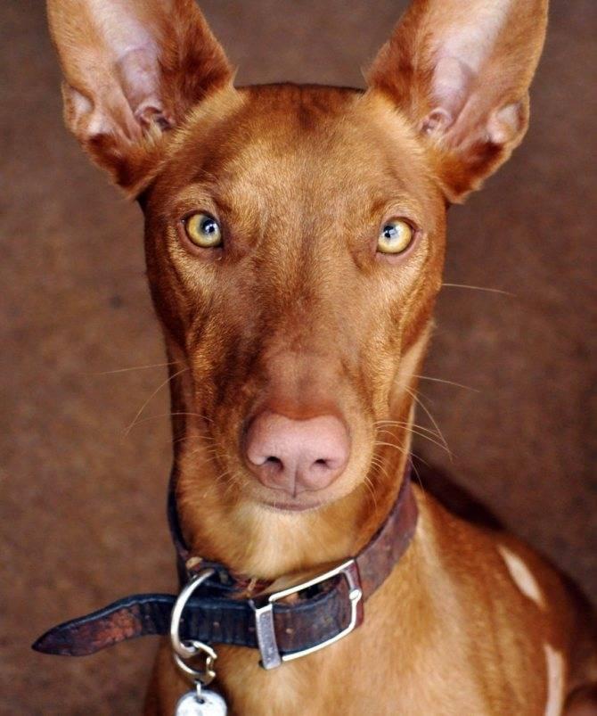 Фараонова собака: фото и видео, цены, описание породы