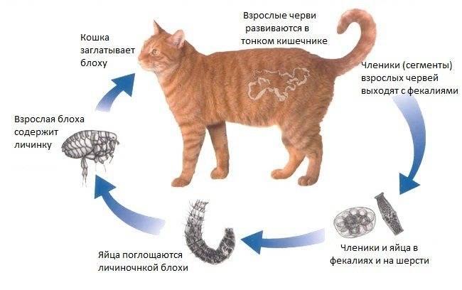 Как вывести глистов у кошки: препараты и народные средства для лечения