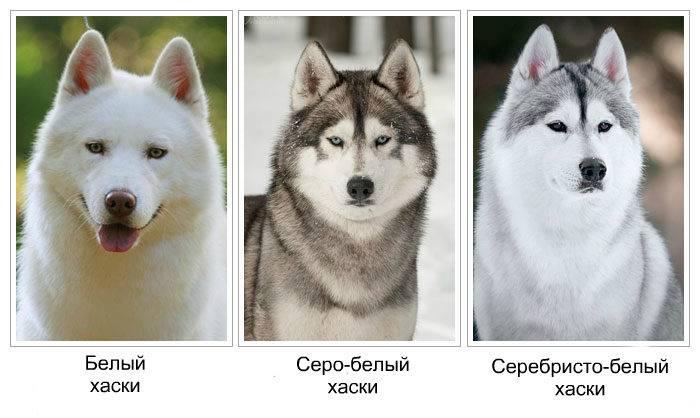 Хаски: описание и особенности породы