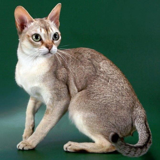 Сингапурская кошка (сингапура): описание породы, внешний вид, характер, уход, кормление, плюсы и минусы