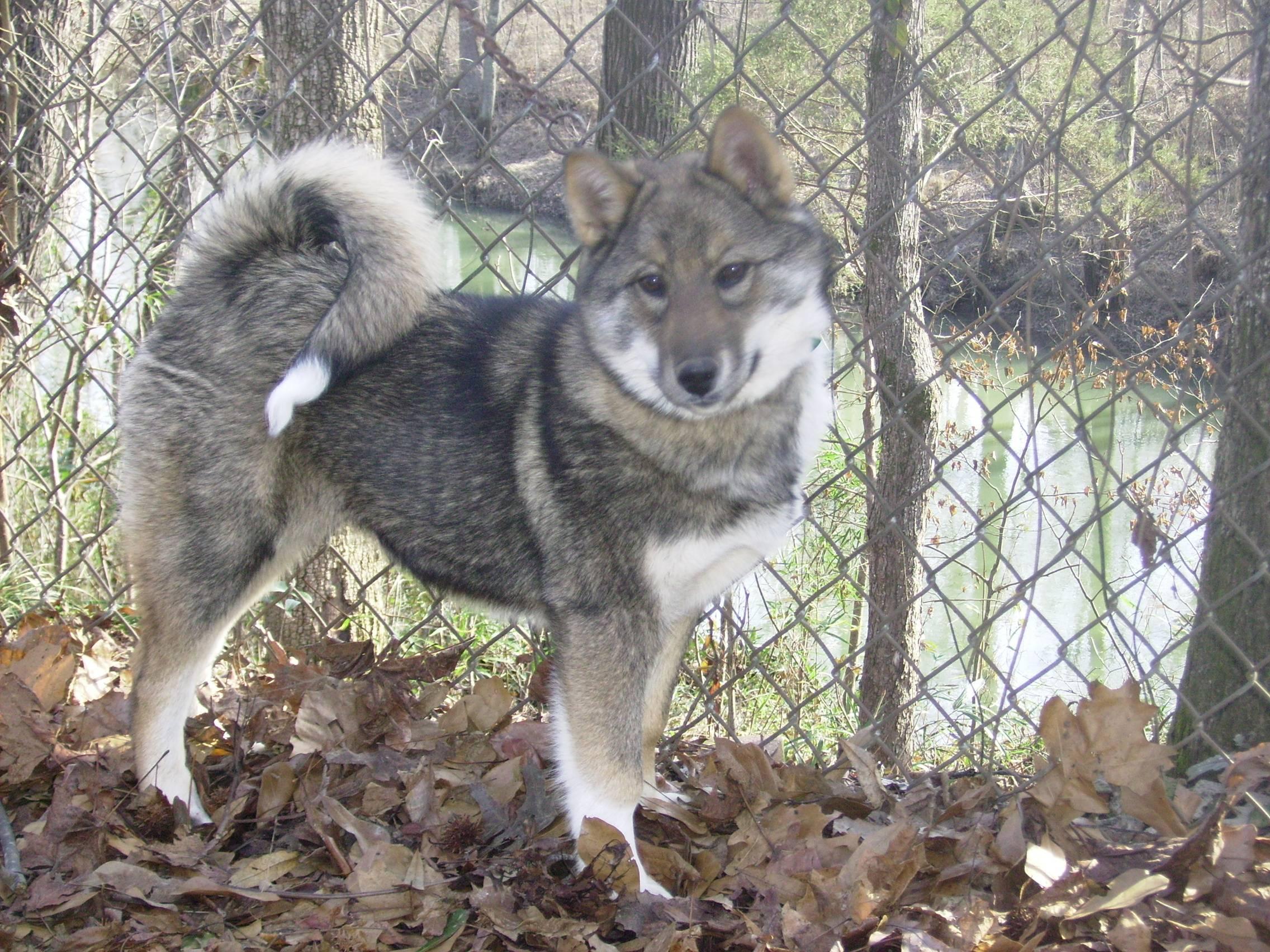 Западно-сибирская лайка: описание породы, характеристика, фото | все о собаках