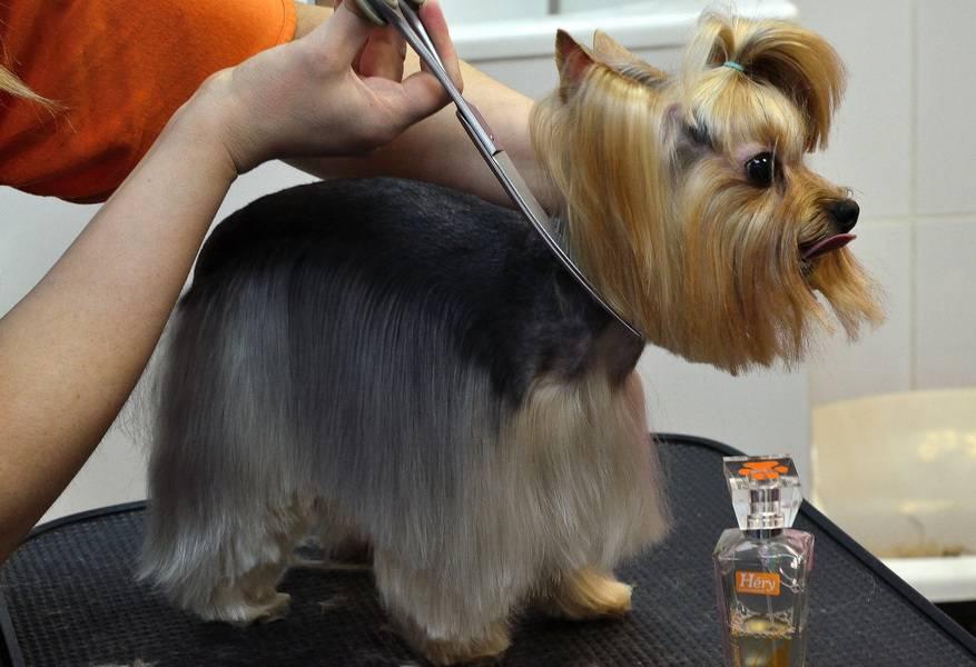 Стрижка щенка йорка в домашних условиях: пошаговая инструкция, как самостоятельно красиво подстричь йорка машинкой и ножницами