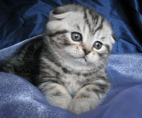 Новорожденные вислоухие котята: как отличить шотландца от обычного