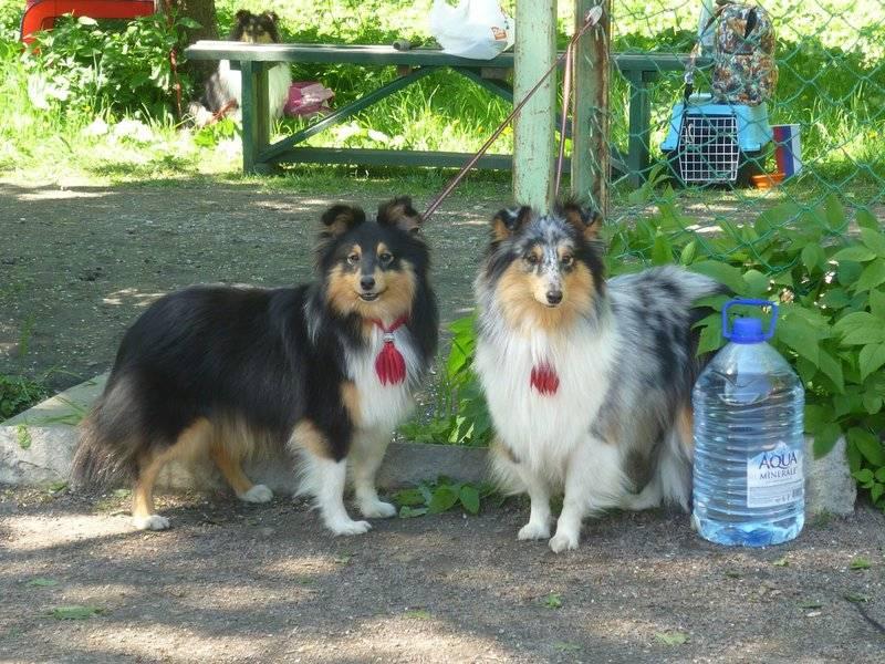 Отличие собаки шелти от колли, характеристика и особенности породы