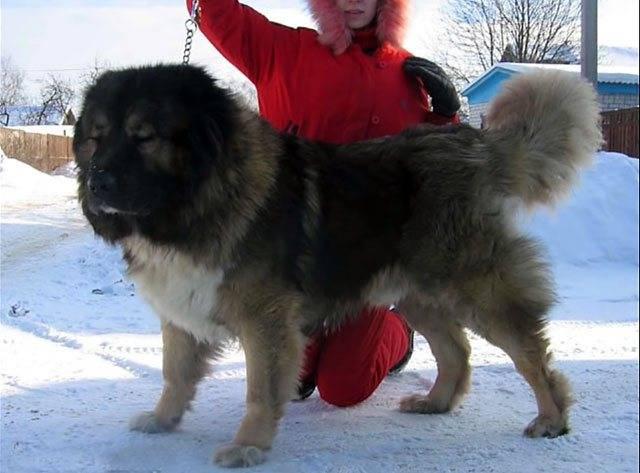 Алабай и другие крупные собаки: кто сильнее и выносливее