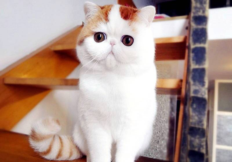 Экзотическая кошка: внешность, характер, уход и кормление