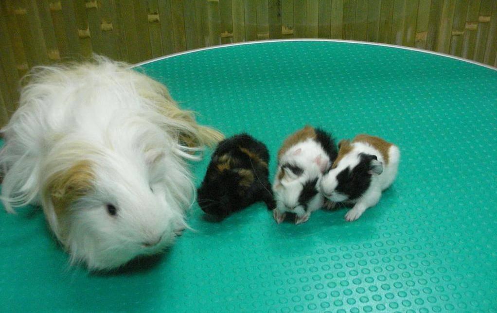 Выращивание морских свинок в домашних условиях: купание, питание, уход и содержание