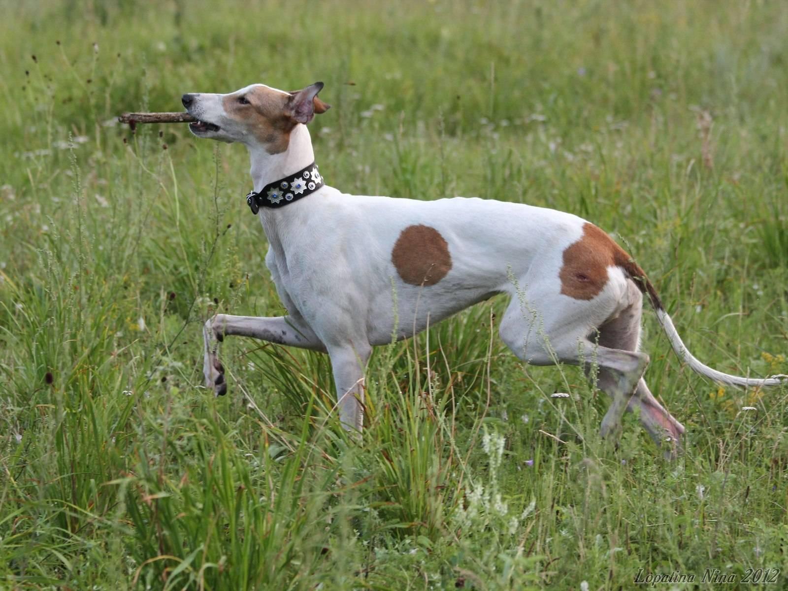 Грейхаунд: описание породы собак, скорость бега, цена