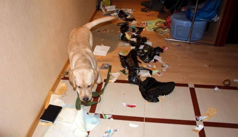 Как отучить собаку грызть вещи в отсутствие хозяина – 10 способов