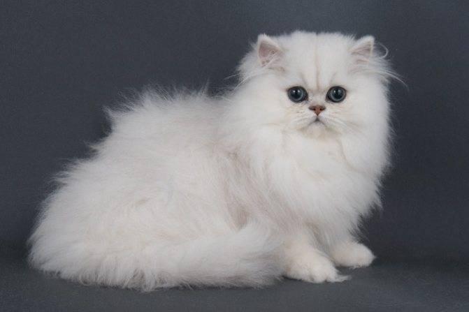 Персидская шиншилла: внешность, характер кошки, содержание и кормление