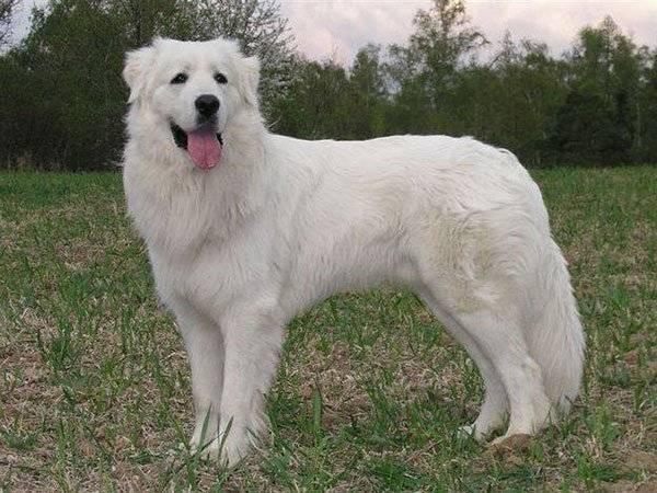Большие породы собак: список представителей с фотографиями, названиями, описаниями и ценами