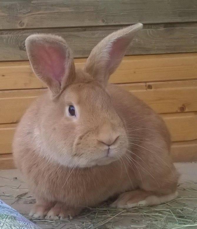 Бургундская порода кроликов — описание, содержание и уход (фото и видео)