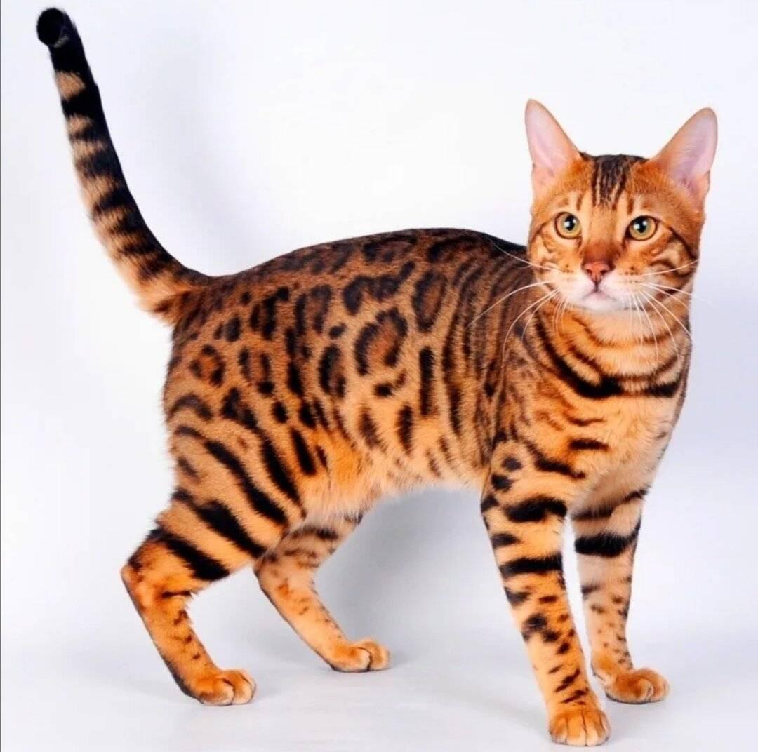Бенгальская кошка характер и поведение. виды окрасов шерсти