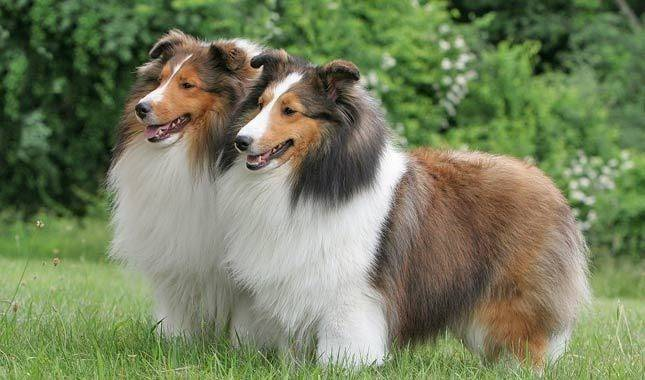 10 самых умных и преданных пород собак в мире