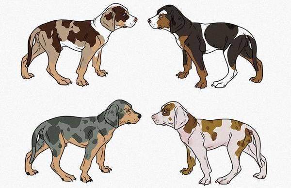 Леопардовая собака катахулы описание породы
