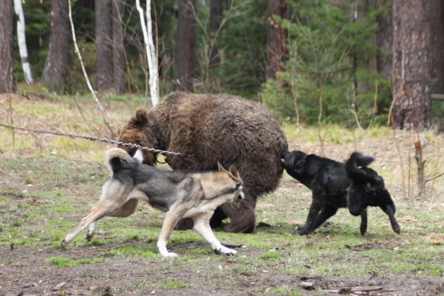 Охота на различных животных и птиц с собакой породы лайка в любой сезон