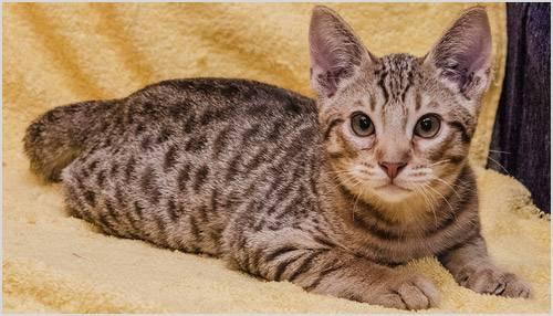 Кошка оцикет: описание породы и особенности характера