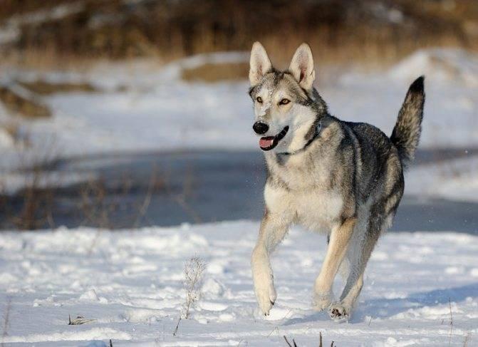 Характеристика собак волкособов: все о внешности, размерах и характере
