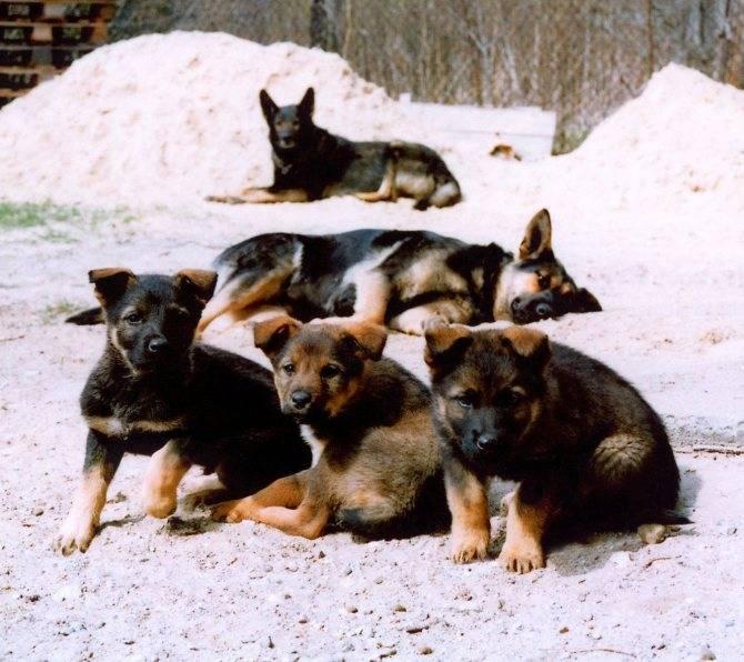 Как отлучить щенков от собаки, как прекратить лактацию | zoosecrets