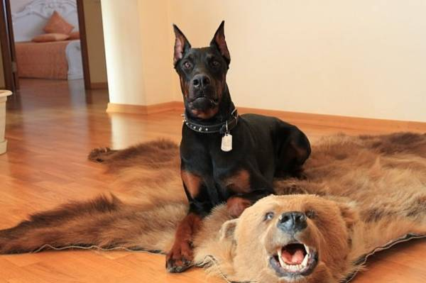 Лучшая собака для вашей квартиры
