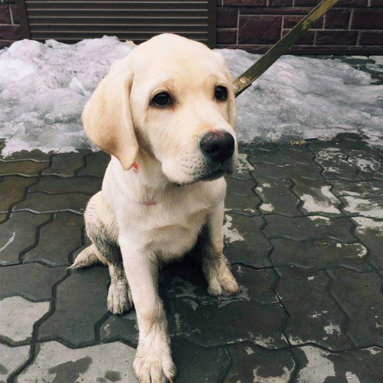 Лабрадор.ру щенок лабрадора - ваш выбор