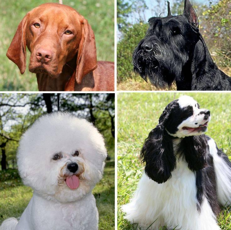 Гипоаллергенные собаки для аллергиков и астматиков — породы
