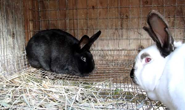 Крольчиха не хочет спариваться: что делать, советы по спариванию