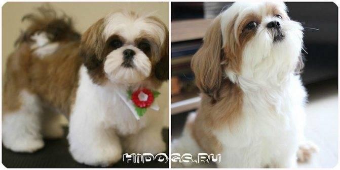 Описание породы ши тцу (шицу): стандарты собак этой породы, характер и особенности ухода за питомцами