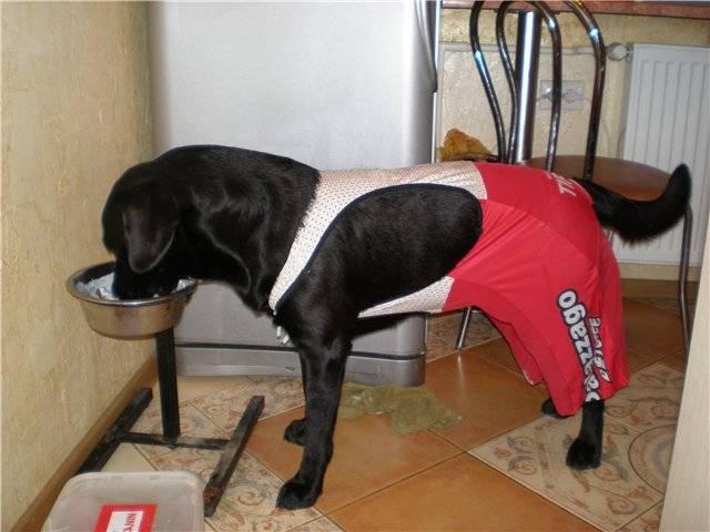 Течка у лабрадора: в каком возрасте начинается, как протекает, какой уход нужен питомице и на какой день лучше вязать собаку