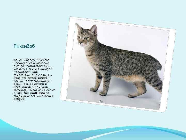 Пиксибоб - фото и описание породы