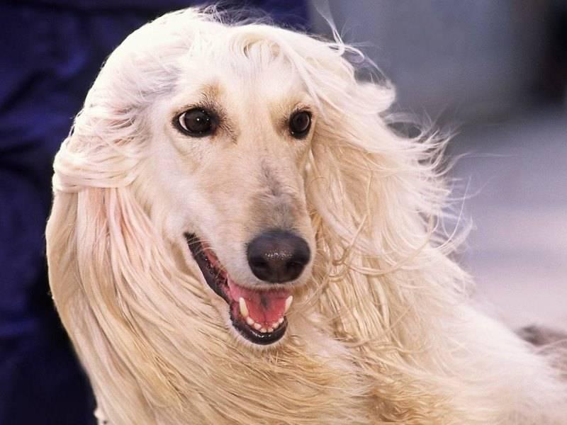 Топ-10 самых умных собак: список пород, какая собака самая умная
